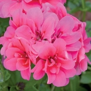 photo of Ivy Geranium Precision Rose