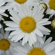 photo of Leucanthemum Madonna (L. x superbum)