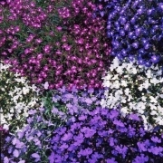 photo of Lobelia Bedding Mixed