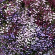photo of Lobelia Trailing Mixed