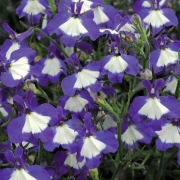 photo of Lobelia Waterfall Blue Ice