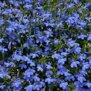 photo of Lobelia Waterfall Blue