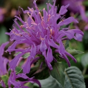 photo of Monarda Balmy Lilac