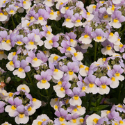 photo of Nemesia Easter Bonnet