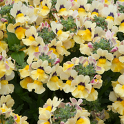 photo of Nemesia Nesia Sunshine