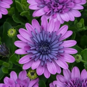 photo of Osteospermum 3D Double Pink
