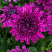 photo of Osteospermum 3D Purple
