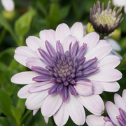 photo of Osteospermum 3D Violet Ice