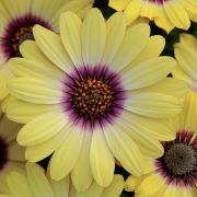 photo of Osteospermum Serenity Blue Eyed Beauty