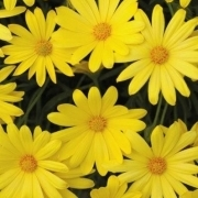 photo of Osteospermum Voltage Yellow
