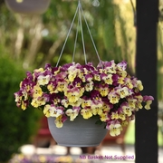 photo of Pansy Cool Wave Strawberry Swirl