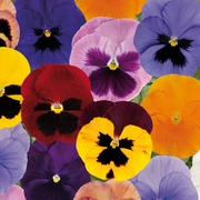 photo of Pansy Matrix Autumn Mixed