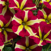 photo of Petunia Amore Queen of Hearts