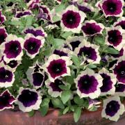 photo of Petunia Cascadia Rim Magenta