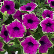 photo of Petunia Designer Buzz Purple