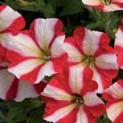 photo of Petunia Designer Red Star