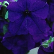 photo of Petunia Fanfare Blue