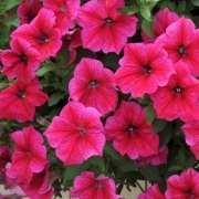 photo of Petunia Fanfare Hot Rose