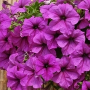 photo of Petunia Fanfare Lavender Vein