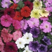 photo of Petunia Fantasia Mixed