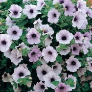 photo of Petunia Surfinia Blue Vein