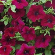 photo of Petunia Surfinia Burgundy