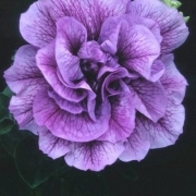 photo of Petunia Tumbelina Priscilla