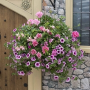 photo of Pink Panther (hanging basket insert)
