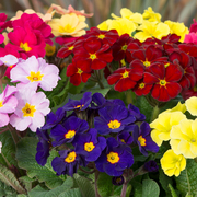 photo of Polyanthus Stella Mixed