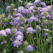 photo of Scabiosa Blue Note