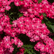 photo of Verbena Enchantment Coral