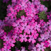 photo of Verbena Enchantment Hot Pink
