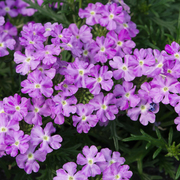 photo of Verbena Enchantment Lavender