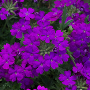 photo of Verbena Enchantment Purple
