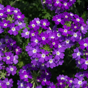 photo of Verbena Enchantment Violet Eye