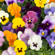 photo of Viola Sorbet Autumn Mixed