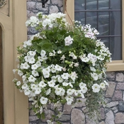 photo of White Heat (hanging basket insert)