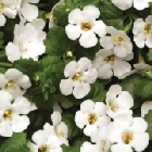 starter plants : Bacopa Abunda Colossal White