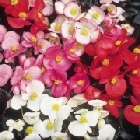 starter plants : Begonia Devils Delight Mixed