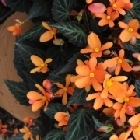 starter plants : Begonia Glowing Embers