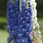 starter plants : Delphinium Guardian Blue