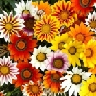 starter plants : Gazania Sunburst Mixed