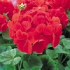 starter plants : Geranium Bright Red
