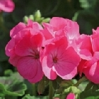 starter plants : Geranium Bright Rose