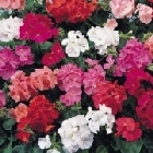 starter plants : Geranium Show Stopper Mixed