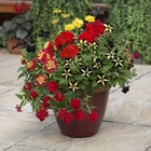 starter plants : Goldfinger (patio container insert)