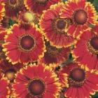 starter plants : Helenium Helena Red Shades