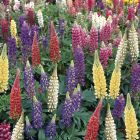starter plants : Lupin Gallery Mixed