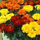 starter plants : Marigold French Fancy Mixed