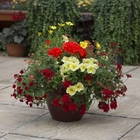 starter plants : Moulin Rouge (patio container insert)